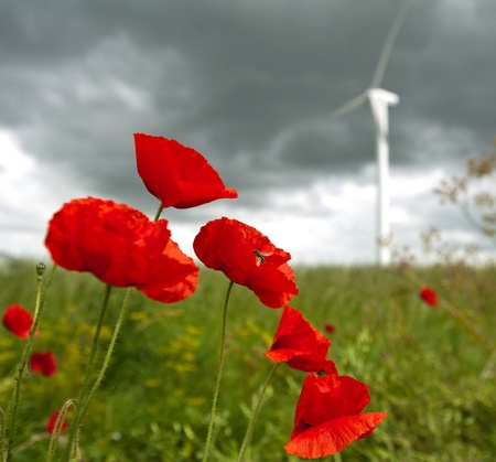 Poppies in a field, Holland Stock Photo