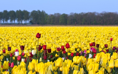 tulipa: Flowers in a field, Holland
