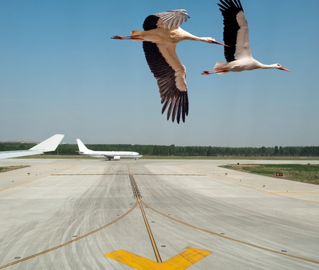 Storks taking off from an airport Stock Photo