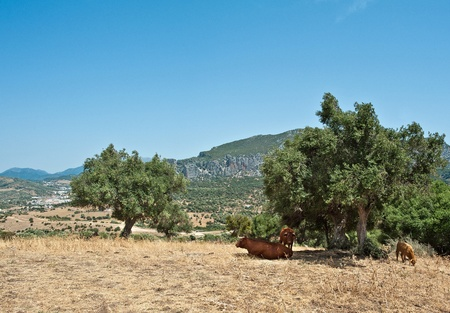 Cows in a field, Spain Stock Photo - 10848580