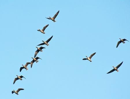 formations: Ganzen vliegen in formatie Stockfoto