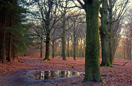 fagaceae: Forest at sunset, Holland