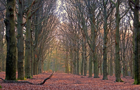 beechwood: Beechwood at sunset, Holland Stock Photo