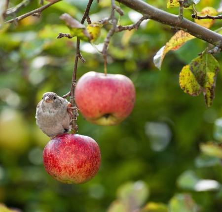 Bird on a red apple 스톡 콘텐츠
