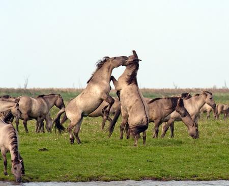 Wild horses dancing