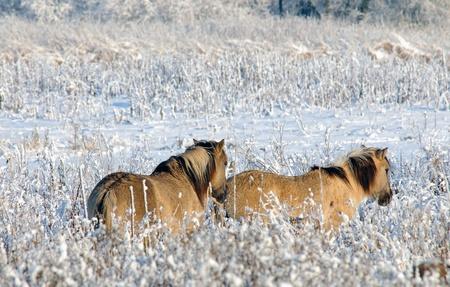 Wild horses in the snow Stock Photo - 10903698