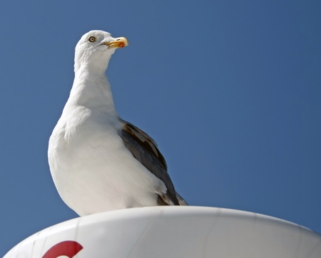 watchful: Watchful seagull, France Stock Photo