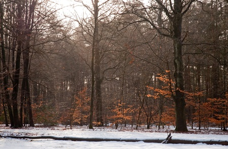 fagaceae: Forest in winter, Holland, Europe Stock Photo