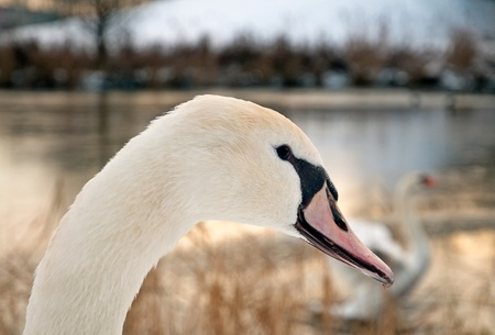 Swan in winter, Holland, Europe photo