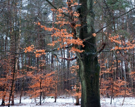 Beeches in the snow, Holland, Europe Stock Photo - 11226917