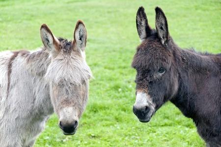 donkey: Twee ezels op zoek naar jou, holland, europa Stockfoto