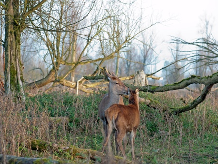 lelystad: Wild Roe Deer female and fawn in a forest, Holland, Europe Stock Photo