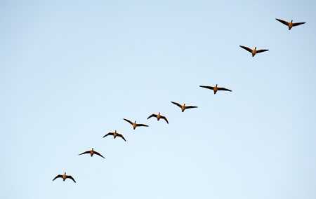 Wild geese flying in winter photo