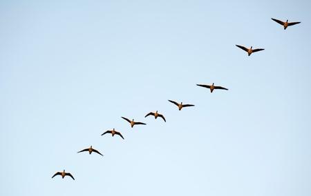 formations: Wilde ganzen vliegen in de winter
