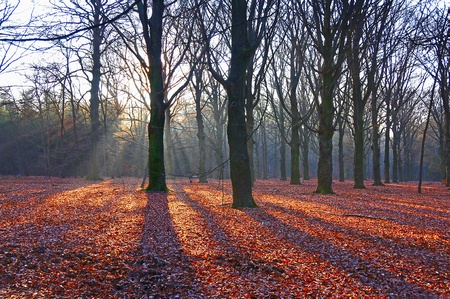 fagaceae: Forest at sunset, Holland, Europe