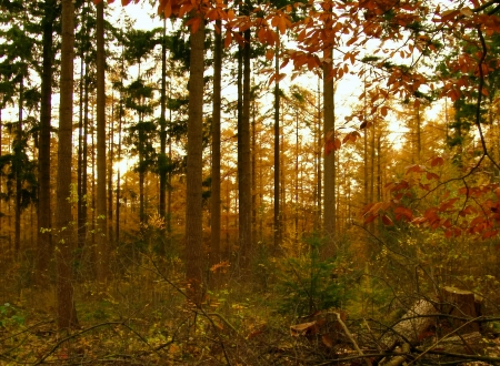 buche: Wald im Herbst bei Sonnenuntergang