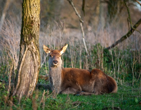 capreolus: Deer lying in a forest at sunset, Holland, Europe