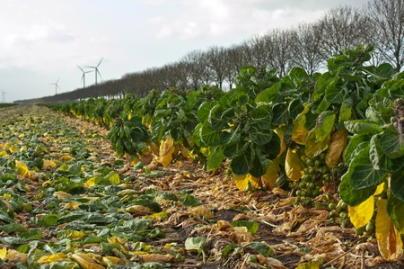 deteriorating: Green vegetables to be harvested on a field