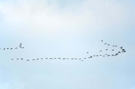 Birds flying in formation in winter photo