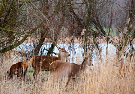 capreolus: Wild deer grazing in nature