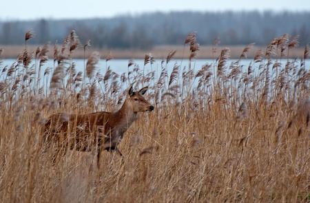 lelystad: Wild deer walking through nature