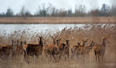 capreolus: Herd of wild deer walking along a lake Stock Photo