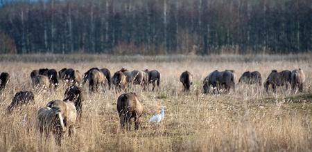 ardeidae: Wild horses grazing in a field in winter