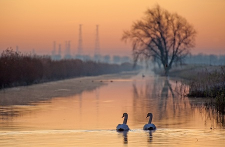 Swans swimming in a canal at sunrise Stock Photo - 11985860