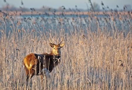 Wild deer grazing in winter at sunrise Stock Photo