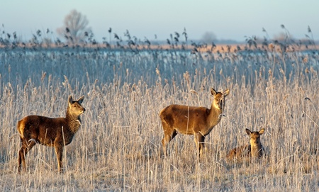 capreolus: Wild deer grazing in winter at sunrise Stock Photo