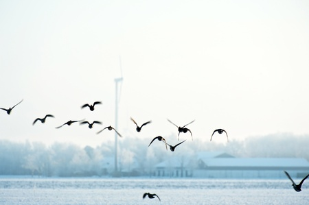 Flying birds in winter over a field photo