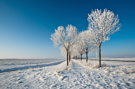 White trees under a blue sky in winter Stock Photo - 12423529