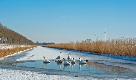Swans in an ice hole in winter photo