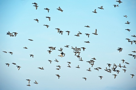 bird flying: Birds flying in winter in a blue sky Stock Photo