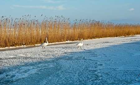 Swans walking on ice in winter photo