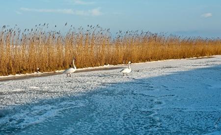 Swans walking on ice in winter photo