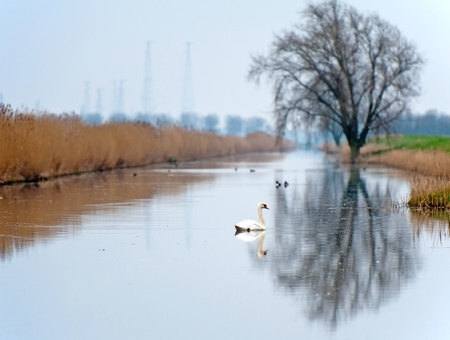 Swan swimming in a canal in winter photo