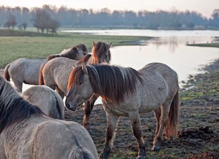 Wild horses in the light of sunrise Stock Photo - 12887126