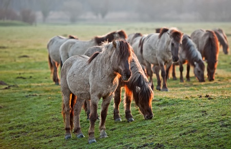 Wild horses in the light of sunrise Stock Photo - 12887121