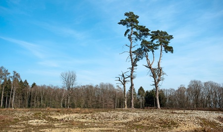 unblemished: Two pines in a forest in spring