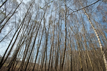 unblemished: Berches in a forest in spring