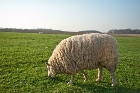 unblemished: Sheep grazing in spring
