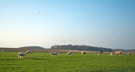 Sheep grazing in spring Stock Photo - 12979619