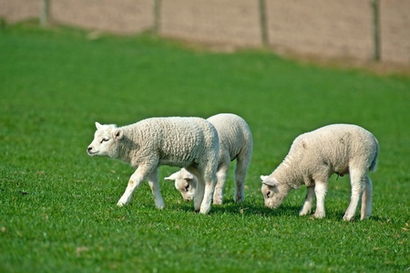 Lambs grazing in spring photo