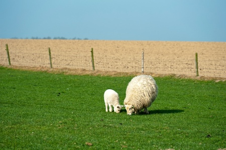 Sheep grazing in spring Stock Photo - 12980628