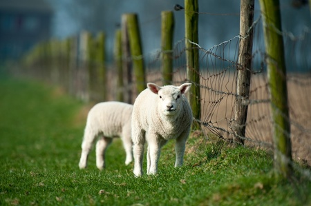 cattle wire wire: Lambs grazing in spring