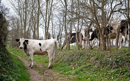 unpaved road: Cow on an unpaved road in spring
