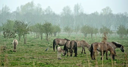Wild horses grazing in a field in spring photo