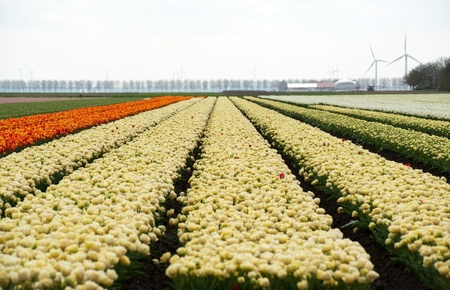 diversity of the region: Cultivation of flower bulbs in spring
