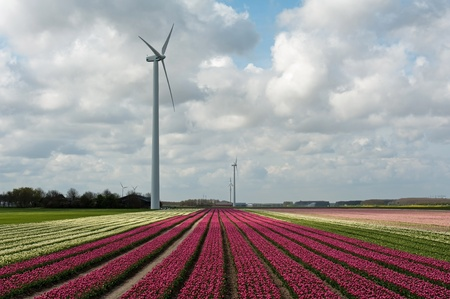 Cultivation of flower bulbs in spring Stock Photo - 13183476